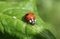 Close up photo of the bright red, with two black spots on its wing cases, ladybird in the centre at rest on a green leaf.