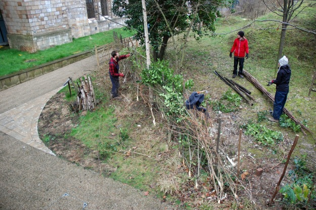 Photo with the hedge being laid stretching from bottom right corner to near top middle of the photo. Daniel is near the far end of the hedge on the left and James in a bright red coat and Nicola in navy blue and a woolly hat to the right.