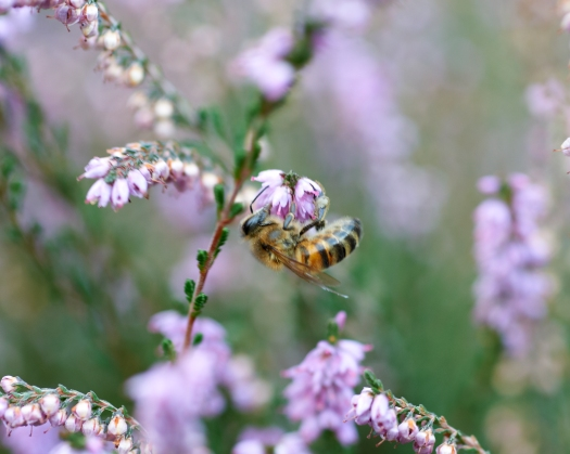 Close-up photo of a honey bee hanging upside down off a heather flower, feeding on the nectar.