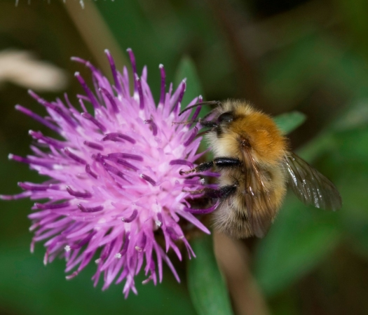 Close-up photo of the bee at the side of a purple flower. The petals are filamentous in shape, giving the flower the appearance of half a pom-pom.