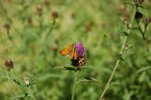 Photo of the moth feeding on the purple flower of the knapweed