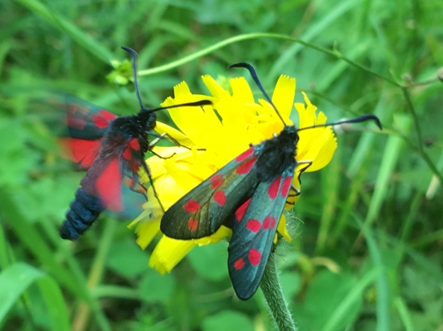 Photo showing the two moths on a yellow flower. One moth (right) is at rest, the other (left) has been captured by the photo mid-wing beat as it feeds.