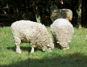 Photograph showing three sheep. Two are in the foreground, heads down and feeding on grass in the meadowland. The third is standing in the shade of trees in the background.