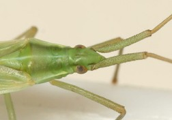 Close up showing the head of the true bug and its antennae