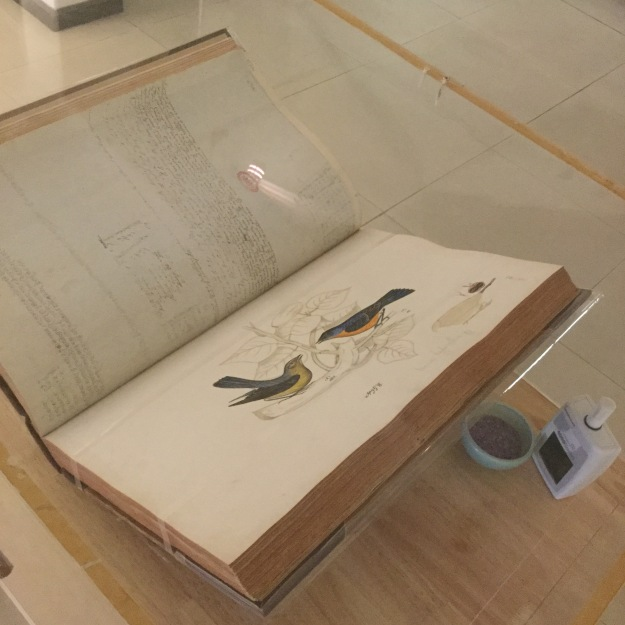 Colour photo taken from above showing a bound manuscript volume sitting in a see through perspex book cradle. The book is sitting diagonally from bottom left to top right. The bottom left hand corner of the left face is out of the photo. Although not readable, it is clear that there is handwritten notes on the left hand page, at intervals from top to bottom. On the right hand page, in landscape, is a coloured watercolour of two small birds facing each other, sitting on a branch with leaves, only the outline is drawn in black. The bird on the left is crouched, has a light green breast, head, dark back and right wing. The left wing is not visible. The bird on the right hand side has an orange breast, dark head, back, left wing and tail. The right wing is not visible. There is a short piece of unreadable text directly underneath the image and another small drawing to the bottom right, but it is not clear what it is. To the right and underneath the perspex support, sitting on the flat cream surface, is an electronic temperature / humidity recorder. It is a small grey plastic box, with a digital display and short stubby aerial. To the left of it is come sort of small grey bowl.