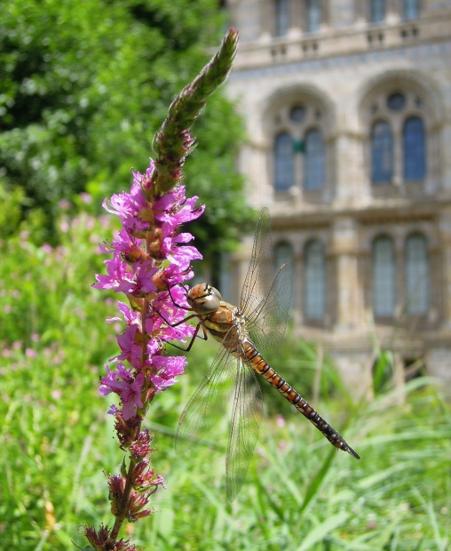 Photo showing a dragonfly at rest on a spear of purple flowers, with a green, out of focus backdrop to the left and bottom and the out-of-focus wall and windows of the Museum in the background.