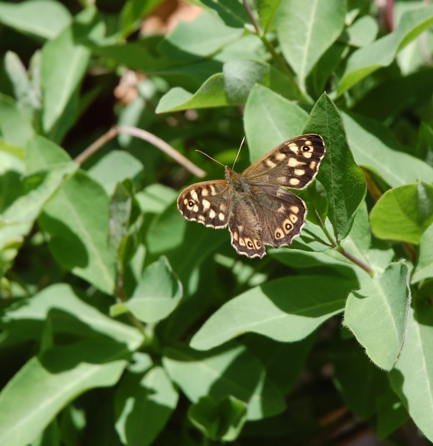 Photo showing the butterfly at rest on a leaf at the top of a green plant, its black-brown, speckled and eyed wings spread.
