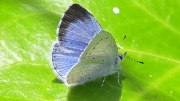 Close-up photo of the butterfly at rest on a green leaf with its wings partially open. The pale blue and black tip of the upper wing is just visible.