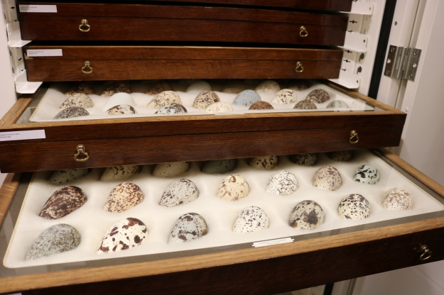 drawer of Guillemot eggs from the collection