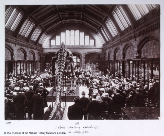 Black and white photograph showing the official presentation event in the former Reptile Gallery. The Diplodocus cast is on a low plinth along the centre of the room facing away from the photographer. The model is surrounded by a large amount of staff and dignitaries (may be more than 200), some sitting and some standing. No specific individual can be made out from the crowd, with those nearest to the photographer standing with their back facing and in morning suits.