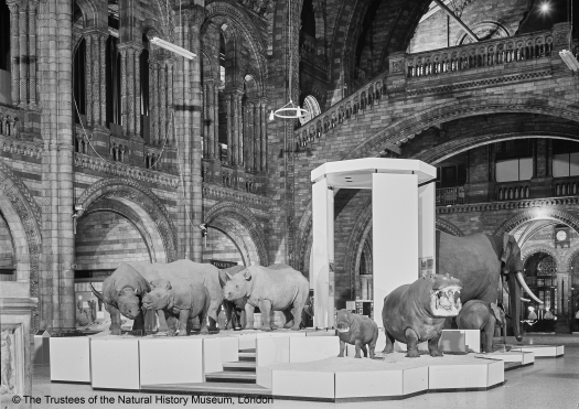 Black and white photograph taken in about 1975, photographer was standing to the right (west) of the main staircase and facing into the centre of Hintze Hall, looking towards the main entrance. The central focus is a large white raised display unit, with four steps in the middle. The left hand side of the display is slightly higher and on top can be clearly seen two adult rhinoceros and in the middle of them a young calf. On the right hand side corner facing the photographer are two hippopotamus, a young one and an adult with it's mouth open wide. Behind on the rear right and facing away from the photographer can be seen, an adult elephant on the left and a very small young calf to it's right. Rising up from the centre of the display are four very tall panels topped off with an octagonal shaped top. The four steps lead visitors up and through this paneled display. Text can be seen on the inside of the panels.