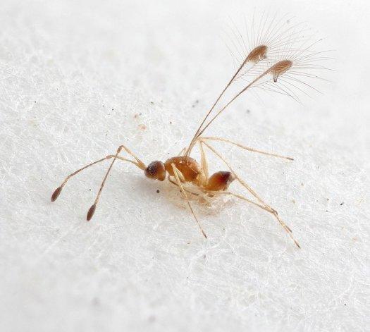 Fairy fly