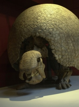 Skeleton of Glyptodon showing carapace. ©Natural History Museum