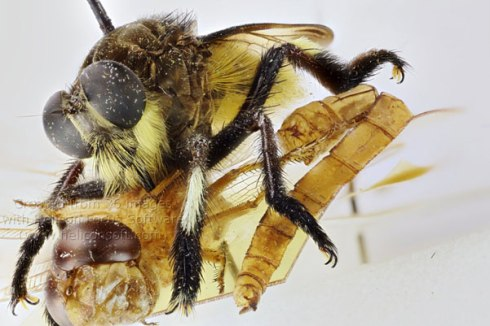 Fighting-robber-flies