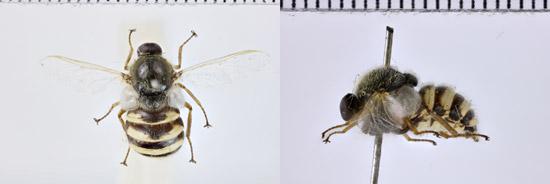 Acrocera-orbiculus