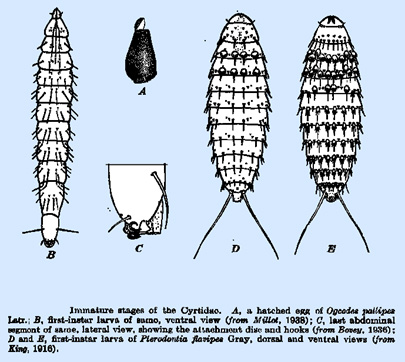 larvae-of-the-Acroceridae